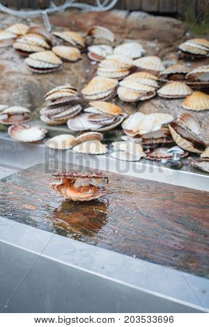 opened scallop shellop with mollusk inside lying on wood desk near sink. outdoor shot in norway. copy space.