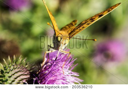 Macro photo of a butterfly drinking nectar on a summer flower