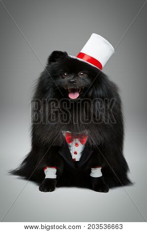 Handsome spitz groom in suit, red bow and silk hat on gray background. dog wedding. copy space.