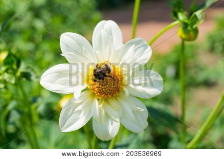 Close-up of a little Bumblebee on a beautiful white Flower. View on a lovely Bumblebee on a amazing white Flower in Spring. Nature Backgrounds