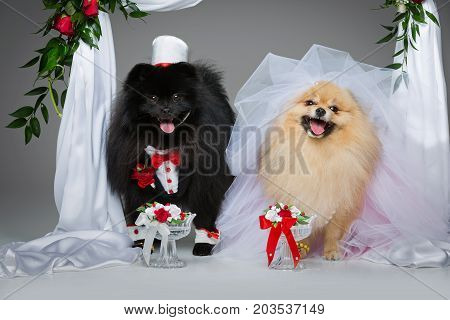 Beautiful spitz wedding couple drinking water from glasses under flower arch on gray background. dog bride in skirt and veil. groom in suit and silk hat. happy newlyweds. copy space.