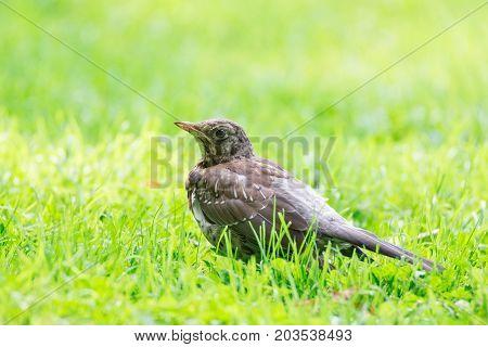 Thrush grasslander on the grass autumn park