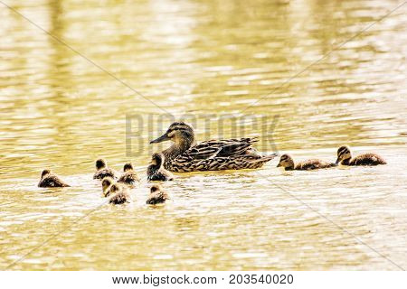 Beautiful wild Mallard duck with youngs - Anas platyrhynchos. Detailed natural scene. Yellow photo filter.