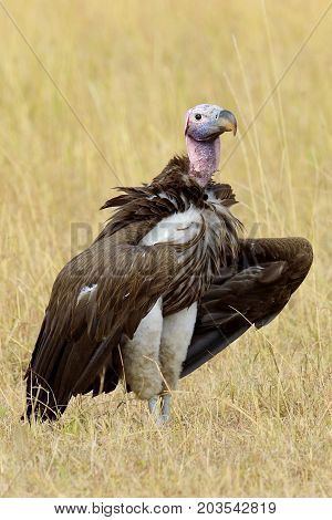 Vulture In Masai Mara National Park