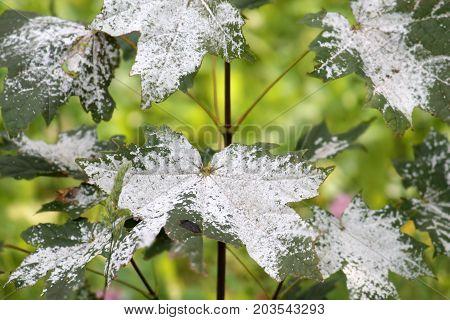 Powdery mildew on Norway Maple. Maple tree fungal disease