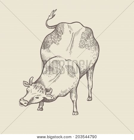 Cute cow is eating grass isolated vector illustration. Front view. Sketch style.
