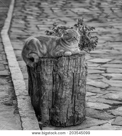 A fluffy ginger tabby male cat resting on a wooden block in front of a souvenir shop in the national revival architectural complex in Tryavna, Bulgaria, Eastern Europe. Colorless and monochrome background. Black and white background.
