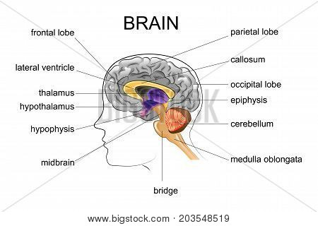 vector illustration of anatomy of the human brain
