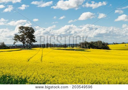 Field of golden canola crops north of Benalla in north-eastern Victoria Australia