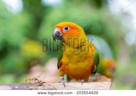 Lovebird Or Parrot Standing On Tree In Park, Agapornis Fischeri (fischer's Lovebird)