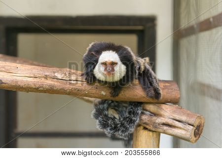 Geoffroy's Marmoset Monkey Sitting On Tree In Zoo