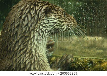 Eurasian otter in aquarium/ The Eurasian otter Lutra lutra, also known as the European otter, Eurasian river otter, common otter, and Old World otter, is a semiaquatic mammal native to Eurasia. The most widely distributed member of the otter subfamily Lut