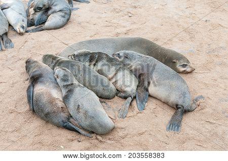 A creche of Cape Fur Seal pups Arctocephalus pusillus at Cape Cross on the Skeleton Coast of Namibia