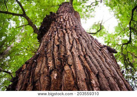 Tree bark close-up, tree crown on background. Old wood tree bark texture.