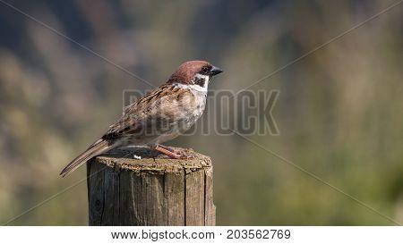 Eurasian Tree Sparrow (Passer montanus) feeding on aphids