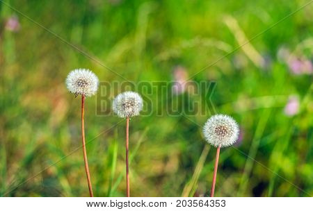 Closeup of three overblown dandelions in a row against their blurred natural background with flowering wild plants in the summer season.