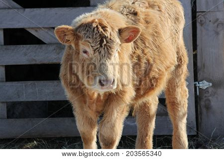 Young Bull calf standing on the outside of a feed- transfer area