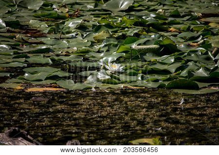Marshland water covered with leaves and flowers of lilies