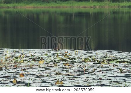 A big pond with trees's reflection and lotus flowers