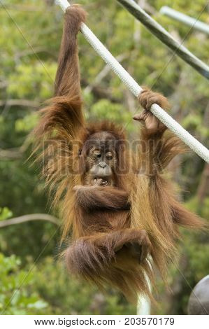 Orangutan Hangs from a Rope Contemplating His Next Move