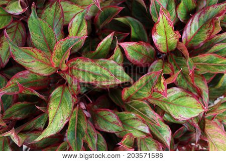 red and green background leaf, red and green background leave