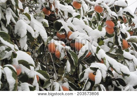 fruits of sweet orange persimmon under the first snow. Persimmon tree