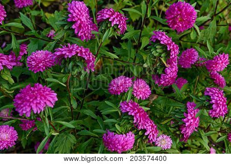 many purple aster on a green flowerbed