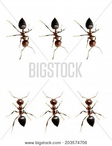military detachment of ants on a white background. macro