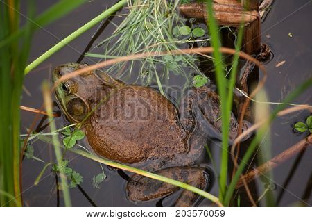 A fat bull frog laying among the reeds in a pond