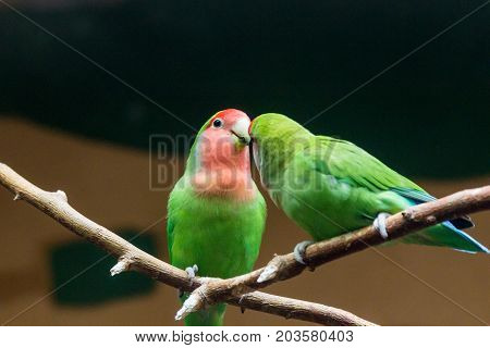 Yellow-naped Amazon Parrot Amazonia National Park In The Territory Of Itaituba Municipality In The S