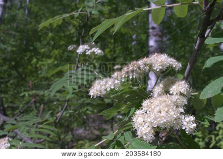 blooming mountain ash in the birch grove