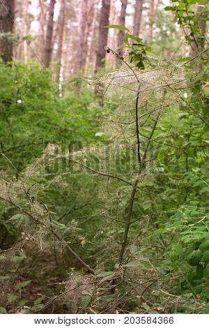 Warty Euonymus, Entangled By Caterpillars Codling Moth, In A Wild Deep Forest