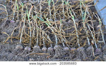 harvested garlic plant South Bohemia Czech Republic