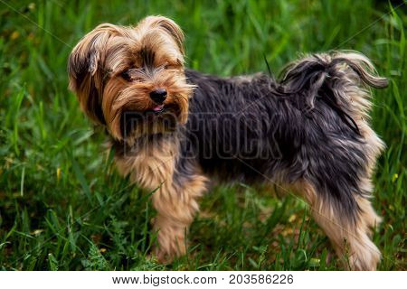 Yorkshire Terrier Looking Up On A Background Of Green Grass