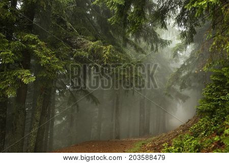 Misty pine forest on the mountain slope in a nature reserve. Fog in the forest.