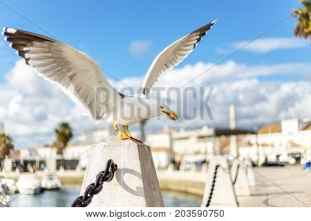 Tame seagull in the city, eating out of hand. In Faro