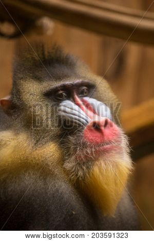 Mandrill Monkey In A Cage At The Zoo, Bright Face