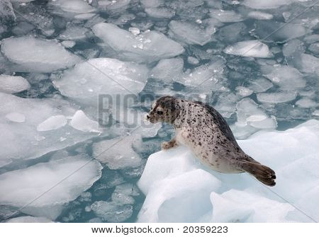 Harbor Seal on an iceberg