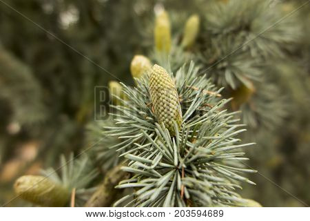 pine twig with cones as the background
