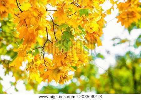 Yellowing leaves on the branches of a maple tree on blue sky background close-up. Autumn leaf fall.