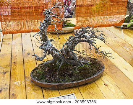 Oriental Hornbeam - Bonsai In The Style Of