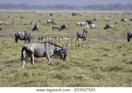 young wildebeest antelope walking along the savanna against the background of grazing herds of ungulates