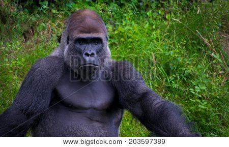 Silverback gorilla relaxing and loogking proud at camera