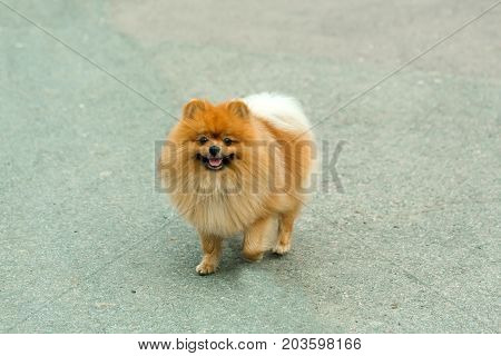 Dog pomeranian walking outdoors. Spitz with red fluffy hair on grey pavement. Pet and domestic animal. Friend friendship. Empathy