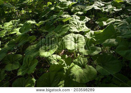 Butterbur plants in Leidschendam in The Netherlands.
