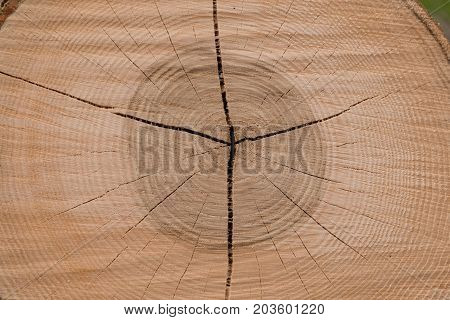 Cutting surface of a hardwood tree trunk showing the annual rings - close-up