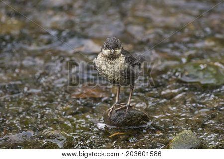Dipper, Juvenile, Perched On A Rock In A Stream, Close Up