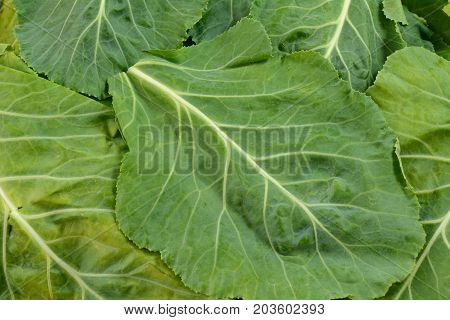 Close up of stack of leaves of raw collard greens