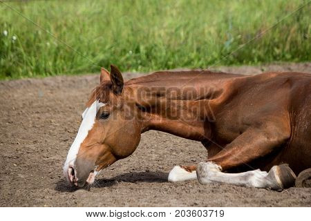 Close Up Of Rolling Horse On The Ground