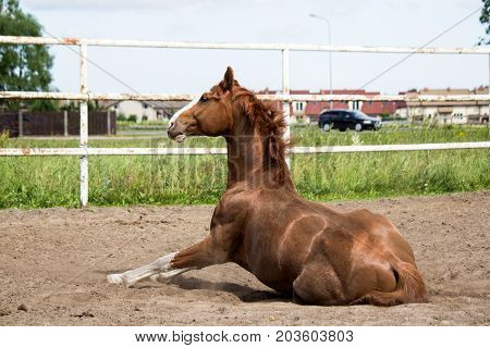 Chestnut Horse Getting Up From The Ground